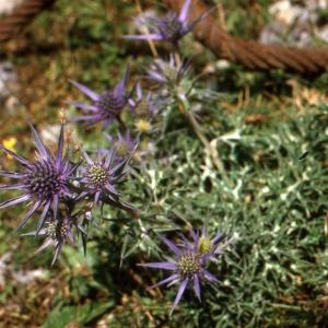 Photographie n°2115029 du taxon Eryngium alpinum L. [1753]