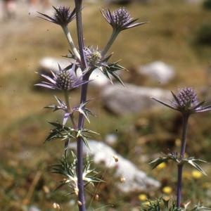 Photographie n°2115030 du taxon Eryngium alpinum L. [1753]