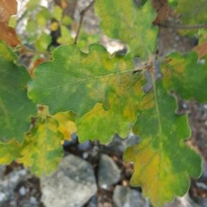 Photographie n°2115162 du taxon Quercus robur L. [1753]