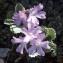 Liliane Roubaudi - Primula marginata Curtis