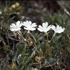 Photographie n°2115283 du taxon Primula pedemontana E.Thomas ex Gaudin [1828]