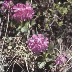 Photographie n°2115286 du taxon Primula pedemontana E.Thomas ex Gaudin [1828]