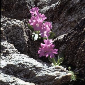 Photographie n°2115290 du taxon Primula pedemontana E.Thomas ex Gaudin [1828]