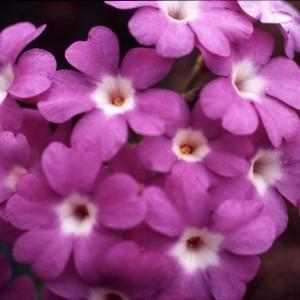 Photographie n°2115291 du taxon Primula pedemontana E.Thomas ex Gaudin