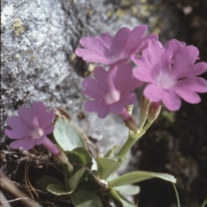 Photographie n°2115294 du taxon Primula pedemontana E.Thomas ex Gaudin [1828]