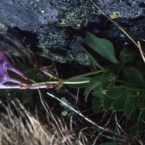 Photographie n°2115297 du taxon Primula pedemontana E.Thomas ex Gaudin [1828]