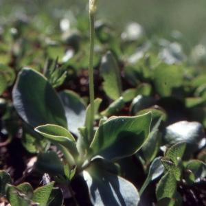 Photographie n°2115299 du taxon Primula pedemontana E.Thomas ex Gaudin [1828]
