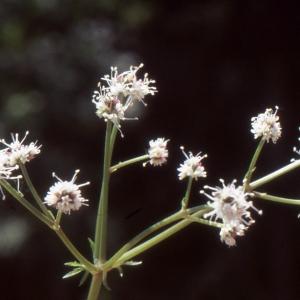 Photographie n°2115392 du taxon Sanicula europaea L.