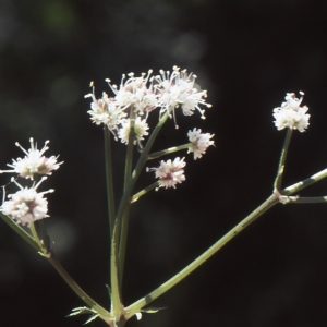 Photographie n°2115394 du taxon Sanicula europaea L.