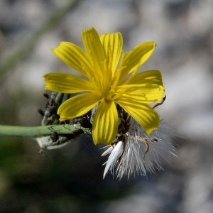 Photographie n°2115581 du taxon Chondrilla juncea L. [1753]