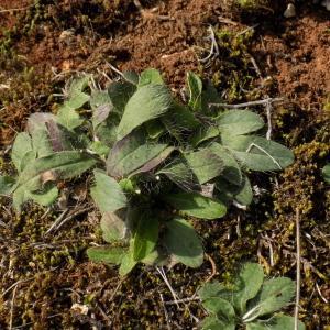 Hieracium pilosella L. (Piloselle)