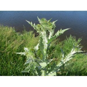 Onopordum acanthium L. subsp. acanthium (Chardon aux ânes)