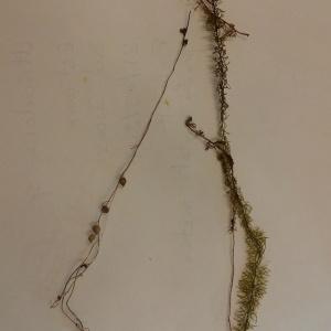 Photographie n°2116100 du taxon Utricularia intermedia Hayne