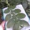 Morgane SIMONET - Solanum tuberosum L.