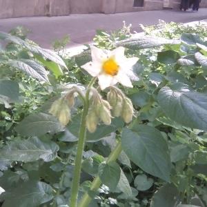 Photographie n°2116392 du taxon Solanum tuberosum L. [1753]