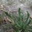 Plantago coronopus L. [nn49875] par Lena TILLET le 30/08/2017 - Grenoble