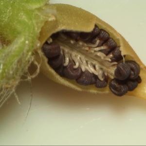 Photographie n°2116453 du taxon Silene gallica L. [1753]