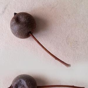 Pyrus calleryana Decne. (Poirier de Chine)
