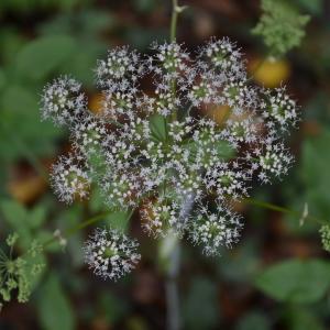 Photographie n°2116660 du taxon Angelica sylvestris L. [1753]