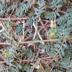 Photographie n°2116792 du taxon Tribulus terrestris L. [1753]