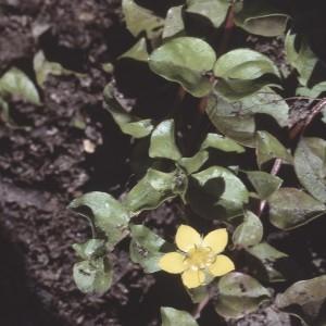 Photographie n°2116909 du taxon Lysimachia nemorum L.