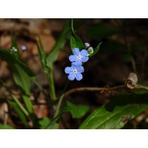 Omphalodes nitida (Hoffmanns. & Link ex Willd.) Hoffmanns. & Link