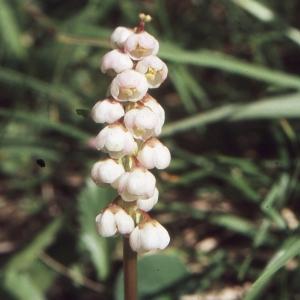 Photographie n°2116984 du taxon Pyrola minor L.