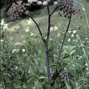 Photographie n°2117014 du taxon Angelica sylvestris L. [1753]