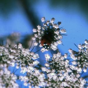 Photographie n°2117016 du taxon Angelica sylvestris L. [1753]
