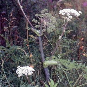 Photographie n°2117020 du taxon Angelica sylvestris L. [1753]