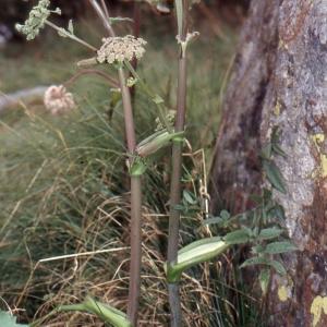 Photographie n°2117021 du taxon Angelica sylvestris L. [1753]