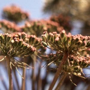 Photographie n°2117026 du taxon Angelica sylvestris L. [1753]