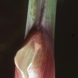 Photographie n°2117027 du taxon Angelica sylvestris L. [1753]