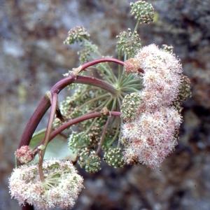 Photographie n°2117028 du taxon Angelica sylvestris L. [1753]