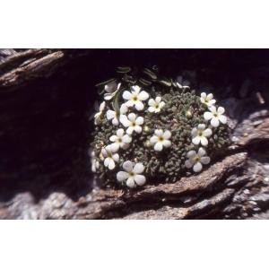Androsace pubescens DC. (Androsace pubescente)