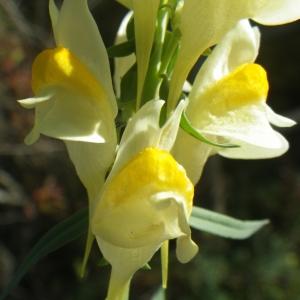 Linaria vulgaris Mill. (Linaire commune)