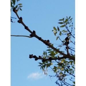 Fraxinus americana L. (Frêne blanc d'Amérique)