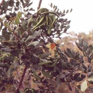 Photographie n°2117338 du taxon Ceratonia siliqua L.