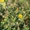 Picris hieracioides L. [nn49351] par pajeraco@... le 17/09/2017 - La Roche-Posay