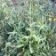 Crepis setosa Haller f. [nn19762] par pajeraco@... le 17/09/2017 - La Roche-Posay
