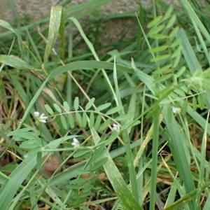 Photographie n°2117457 du taxon Ervilia hirsuta (L.) Opiz [1852]