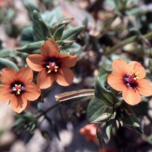Photographie n°2117587 du taxon Anagallis arvensis L. [1753]