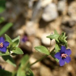 Photographie n°2117590 du taxon Anagallis arvensis L. [1753]