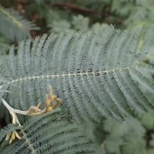 Photographie n°2117635 du taxon Acacia dealbata Link [1822]