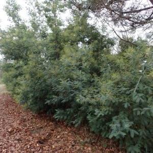 Photographie n°2117636 du taxon Acacia dealbata Link [1822]