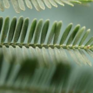 Photographie n°2117638 du taxon Acacia dealbata Link [1822]