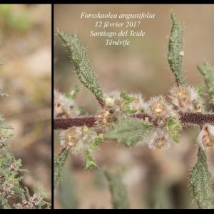 Photographie n°2117708 du taxon Forsskaolea angustifolia Retz. [1783]