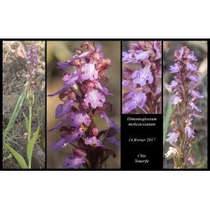 Himantoglossum metlesicsianum (W.P.Teschner) P.Delforge