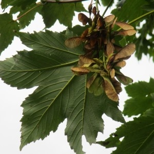 Photographie n°2117952 du taxon Acer pseudoplatanus L.