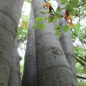 Photographie n°2117980 du taxon Fagus sylvatica L.